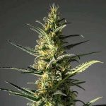 Candida - MM Genetics - CBD: 11-20% - THC: 1% - Ratio: 1:20