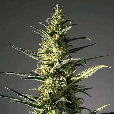 Candida - MM Genetics - CBD: 11-20% - THC: 1% - Ratio THC:CBD: 1:20