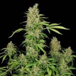 CBD Cronic - Serious Seeds