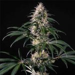 Green Doctor - Medical Marijuana Genetics
